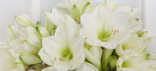 amaryllis-jul-mg-2014-041-s-1200x550