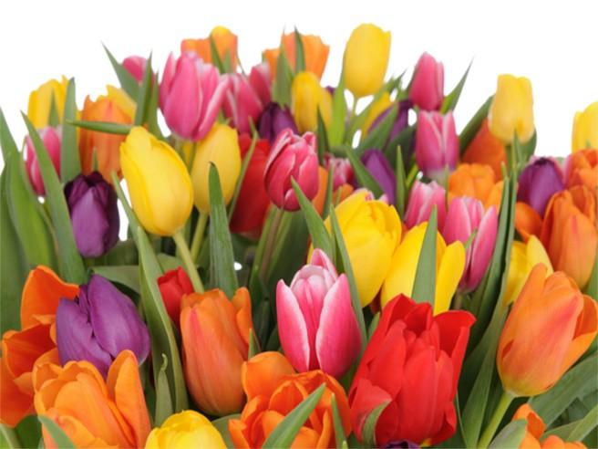 tulipanar.jpg